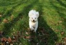 My love / my dog is my love <3 #maltesse #whitedog