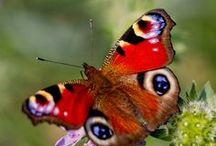 Perhosia.yökkösiä ja hyönteisiä