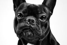 French bulldog / Animals