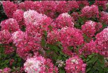 Hydrangea paniculata / Les différentes variétés disponibles