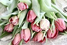 Tulips | Tulpen / Tulips | Tulpen