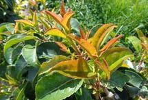 Prunus persistants