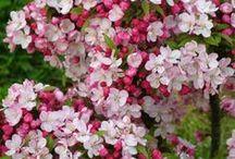 Malus & Prunus à fleurs