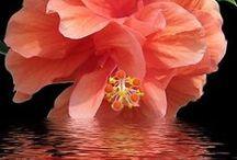 Flowers - Flori / Pământul râde prin intermediul florilor. Earth laughs in flowers - Ralph Waldo Emerson    http://www.fluxymedia.com