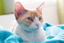 Devon rex cats / chats / Beautiful Devon Rex cats Board for CAT LOVERS