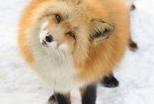 Fox :3