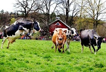 Cows - Bovine / Cows, cattle, and bovine / by Marcy Wentworth