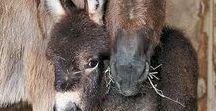 Horses , Donkeys