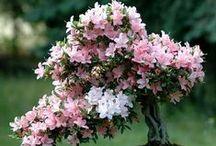 Beautiful Bonsai / by marjorie mc caulay