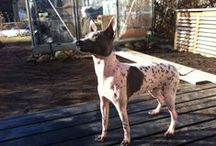 American Hairless Terrier / Our lovely dogs Inka and Lumo