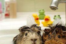 G U I N E A  P I G S / guinea pigs are fluffy miniature pigs
