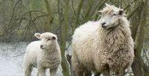Sheep like me