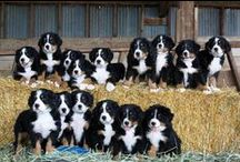 My Favorite Fuzzy / I love Bernese Mountain Dogs! I currently own one, his name is Ben. But I would love to have a whole pack of them someday! / by Lashell Collins