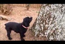 Videos - OBG Cocker Spaniel Rescue / Videos - OBG Cocker Rescue