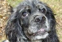 Our Cocker Spaniels Adopted! 2014