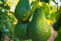 Avocado trees growing & facts