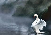 Swan / Swan