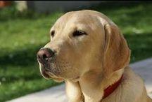 golden - 犬