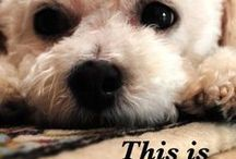 Animals / Love My Bichon, Sadie! / by Sadie's Mom