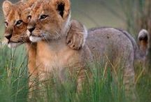 Leo / All about the lion!