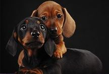 DACHSHUND'S / Gretchen, Bitsy, Mike & Coco / by penny dean