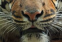 Tigri / ❤❤❤❤❤❤