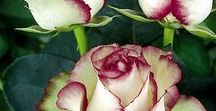 Roże.....