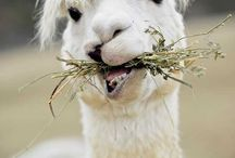 Alpaca love / My favorite animal. the one and only: alpaca