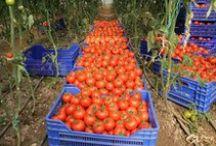 Tarım ürünleri/Products / Taze, lezzetli ve rengarenk tarım ürünleri tarlasera'nın yakın markajında