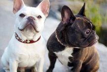 Frenchies bulldog / Chez Carla-bikini.com nos mascottes c'est Lili et Goliath