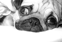 My pugs Lilly and Marlen - loves of my life:-)