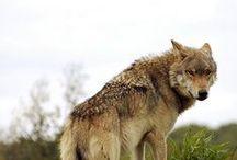 loups - wolf / mon animal préféré........ le loup