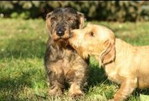GOLDENDACHS' KISSES / Lovely kisses between dachshunds