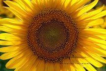 """Girassois______╰• ⊰✿ ƸӜƷ ✿⊱• ╯________na Tuscany / """"Coltivare un atteggiamento felice. Coltivare uno spirito di ottimismo. Camminare nella fede, gioire delle bellezze della natura, la gentilezza delle persone che ami, il record che portate nel vostro cuore per quanto riguarda le cose divine. """""""