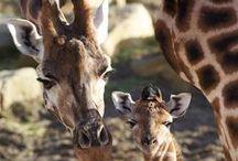 Giraffes / by Mona Hodgson