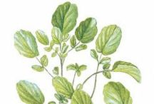 Herbs / Herbs are easy to grow from seed, and can be enjoyed both indoors and out! Whether you're looking for classic herb seeds, organic herb seeds, or are ready to explore new flavors, you'll find plenty of beautiful and flavorful herb seeds for sale.