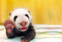 Pandaface / Spirit-animal.  / by Mareva Vaughan