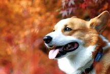Corgi Pictures / A corgtacular collection of the best Pembroke and Cardigan Welsh Corgi photos you've ever seen! / by Corgi Club