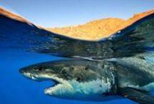 Wereld van de Haai / Wereld van de Haai gaat voornamelijk over haaien, maar ook andere zeedieren krijgen de nodige aandacht. Aan de kinderen is ook gedacht, met o.a. leuke ideeën voor dagjes uit, puzzels en handige links naar andere websites voor de nodige ondersteuning bij werkstukken en spreekbeurten.