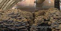 İstiridye Mantarı / istiridye mantarı üretimi nasıl yapılır , oyster mushroom how to make oyster mushroom production