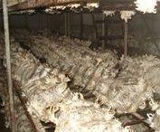 Mantar Üretimi Hastalıkları ve Üretim hataları / Kompost Hastalıkları Mantar üretim Yanlışları Mantar Yetiştiriciliginde üreticilerin yaptıgı üretim yanlışları işletmelerin düzenlenmesi   Compost Diseases Mushroom production mistakes Regulation of producers' mismanagement of production faults in mushroom cultivation