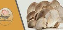 Bizden Haberler / Hayger mantar haberleri istiridye Mantar haberleri  Hayger mushroom news oyster mushroom news