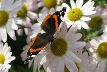 Få mere liv i haven! / Insekter og bestøvere er vigtige for al liv. Æbler, blommer, ribs, jordbær - alt hvad vi tager for givet en dejlig sommerdag skyldes vores bestøvere. Pindsvinene og tudserne tager dræbersnegle, fuglene tager larverne og hvepsene (gedehamse) er vigtige bestøvere. Dyk ned i den skønne verden og lær at værdsætte alt der kribler og krabler i haven.