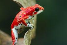 béka - frog