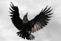 Raven | Crow | Magpie