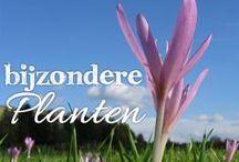 Bijzondere Planten / De Nederlandse natuur kenmerkt zich door een grote diversiteit aan planten en bomensoorten. Zo heeft ieder stukje landschap haar eigen kenmerken, immers in Groningen is een geheel ander type landschap te vinden dan in Zuid-Limburg of Utrecht. Wij willen je graag kennis laten maken met het moois wat Nederland te bieden heeft. Stap op je fiets en laat je verwonderen door al het natuurschoon wat Nederland te bieden heeft!
