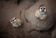 Meerkats Make Me Smile / by FeeFee LaRue