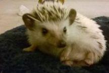 Hedgehogs / HEDGEHOGS :D / by Brittney Hoh