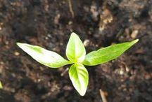 Tuinplanten | Plantes de jardin
