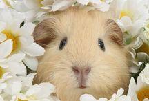 Piggys / guinea pigs, piggys